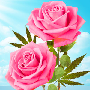 Cannabis Rose Type Fragrance Oil