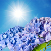 NG Blue Hydrangea Type Fragrance Oil