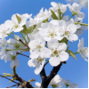 Flowering Dogwood Fragrance Oil