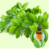 Cilantro ESSENTIAL OIL